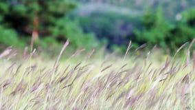 Łąkowe trawy w śródpolnym kiwaniu w wiatrze dalej zdjęcie wideo