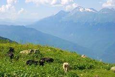 łąkowe wysokogórskie krowy Obraz Stock