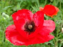 Łąkowi czerwoni maczki Obraz Royalty Free