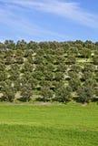 łąkowi drzewa oliwne zdjęcia royalty free
