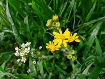 Łąkowi kwiaty Zdjęcie Stock