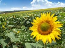 łąkowi słoneczniki zdjęcie stock