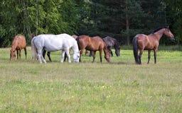 łąkowi stado konie Zdjęcia Royalty Free