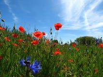 Łąkowi wildflowers fotografia royalty free