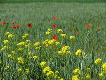 Łąkowi wildflowers zdjęcie royalty free
