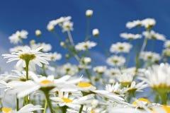 łąkowi wildflowers Zdjęcia Royalty Free