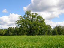 łąkowy dębowy drzewo Zdjęcia Royalty Free