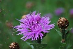 ŁĄKOWY kwiat na zielonym tle Zdjęcie Royalty Free