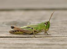 Łąkowy pasikonik Fotografia Stock