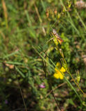 Łąkowy pasikonika obsiadanie na gałązce Zdjęcia Stock