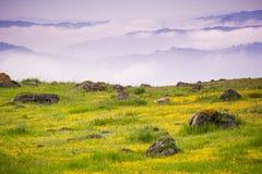 Łąkowy pełny goldfield wildflowers; południowy San Fransisco zatoki teren, Kalifornia Fotografia Royalty Free