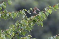 Łąkowy Pipit Zdjęcie Royalty Free