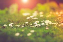 Łąkowy stokrotka kwiatów zakończenie w świetle słonecznym obrazy stock