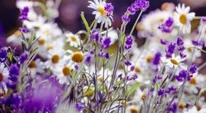 Łąkowy tło z lawendy i stokrotki kwiatami Obrazy Royalty Free
