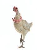 łęku kurczaka wspaniały menchii krawata odprowadzenie Obraz Stock
