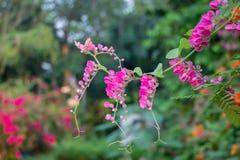 Łańcuch miłość menchii kwiat Meksykański pełzacza Antigonon leptopus haczyk & Arn Okwitnięcie w ogródzie obrazy royalty free
