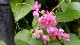 Łańcuch miłości Corallita rośliny zdjęcia royalty free