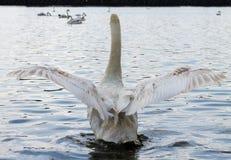 Łabędź, łopotań skrzydła Fotografia Royalty Free