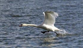 Łabędź bierze daleko od wody Zdjęcie Royalty Free