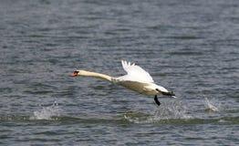 Łabędź bierze daleko od wody Obrazy Stock