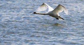 Łabędź bierze daleko od wody Fotografia Royalty Free