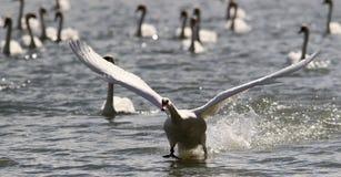 Łabędź bierze daleko od wody Fotografia Stock