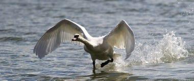 Łabędź bierze daleko od wody Zdjęcia Stock