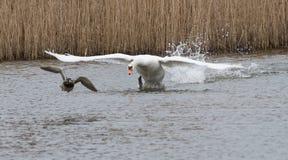 Łabędź celuje kaczki 01 Fotografia Royalty Free