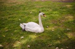Łabędź chrupie odpoczynek na trawie blisko jeziora Obraz Royalty Free
