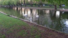Łabędź fisshing na rzece zbiory