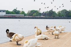 Łabędź, gąski i inni ptaki przy Salford Quays w Machester, zdjęcia stock