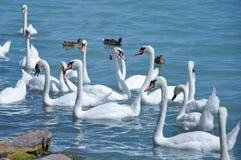 Łabędź i kaczki na jeziorze zdjęcia royalty free