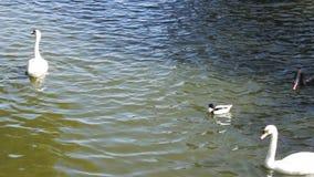 Łabędź i kaczki na jeziorze zdjęcie wideo