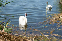 Łabędź i kaczki pływa w jeziorze Fotografia Royalty Free