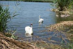 Łabędź i kaczki pływa w jeziorze Zdjęcia Royalty Free