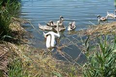 Łabędź i kaczki pływa w jeziorze Obraz Royalty Free
