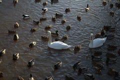 Łabędź i kaczki pływanie w stawie Zdjęcie Stock