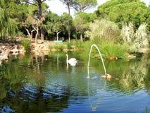 Łabędź i kaczki przy stawem Obraz Royalty Free