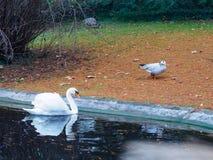 Łabędź i kaczki w parku Fotografia Royalty Free
