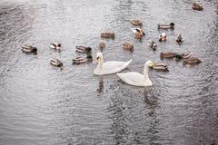 Łabędź i kaczki w stawie Zdjęcia Stock