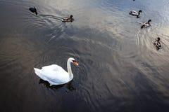 Łabędź i kaczki widzieć od góry widok z lotu ptaka Fotografia Royalty Free