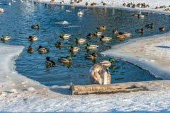 Łabędź i kierdel kaczki pływamy w wodzie na zamarzniętym jeziorze Fotografia Royalty Free