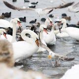 Łabędź i seagulls Fotografia Royalty Free