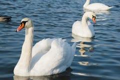 Łabędź i staw, jeziorna fotografia Piękny obrazek, tło, wallpa obraz stock