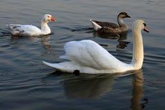 Łabędź kaczki Obrazy Royalty Free
