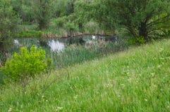 Łabędź na bagnie w rezerwacie przyrody zielona łąka Wiosna Tr Zdjęcie Stock