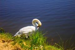 Łabędź na brzeg rzeki Tło Fotografia Royalty Free