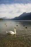 Łabędź Na Halnym jeziorze fotografia royalty free