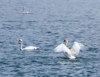 Łabędź na Jeziornej lucernie Obrazy Stock