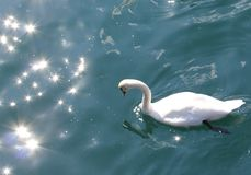 Łabędź na Jeziornej lucernie, Szwajcaria Fotografia Royalty Free